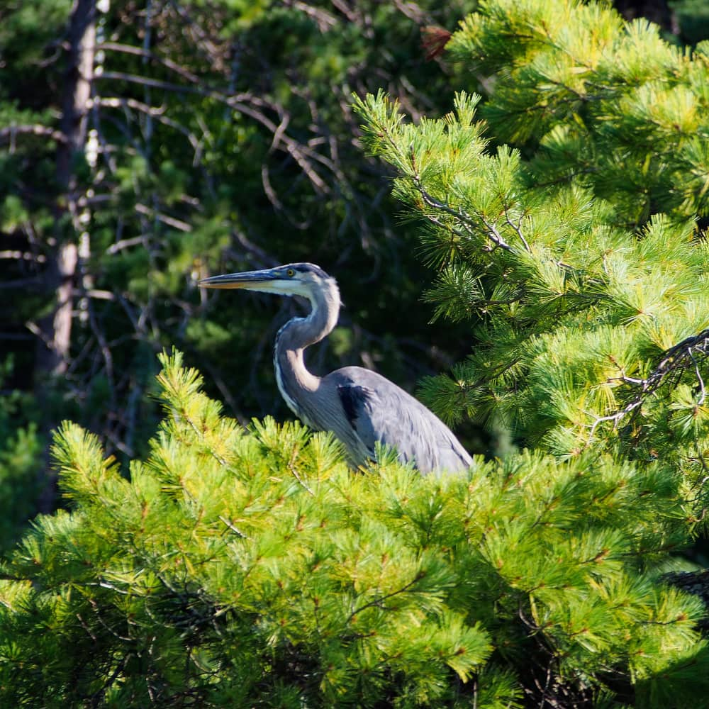 A blue heron sitting in a tree at black donald lake near calabogie