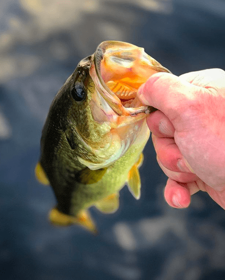 largemouth bass held by fisherman